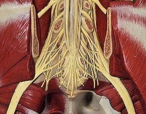 Nervenwurzeln und Abgangsstränge des Ischiasnerven