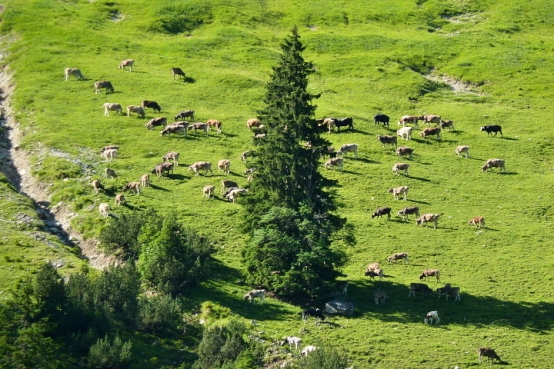 Allgäuer Braunvieh in den Steilgrashängen des Schattenberges