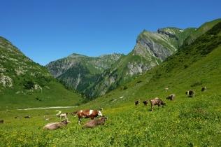 Weidevieh an der Käser-Alpe
